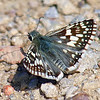 Common Checkered Skipper With Open Wings