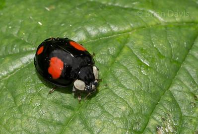 Harlequinn Ladybird 3