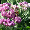 Male Golden Rein Wasp View 2
