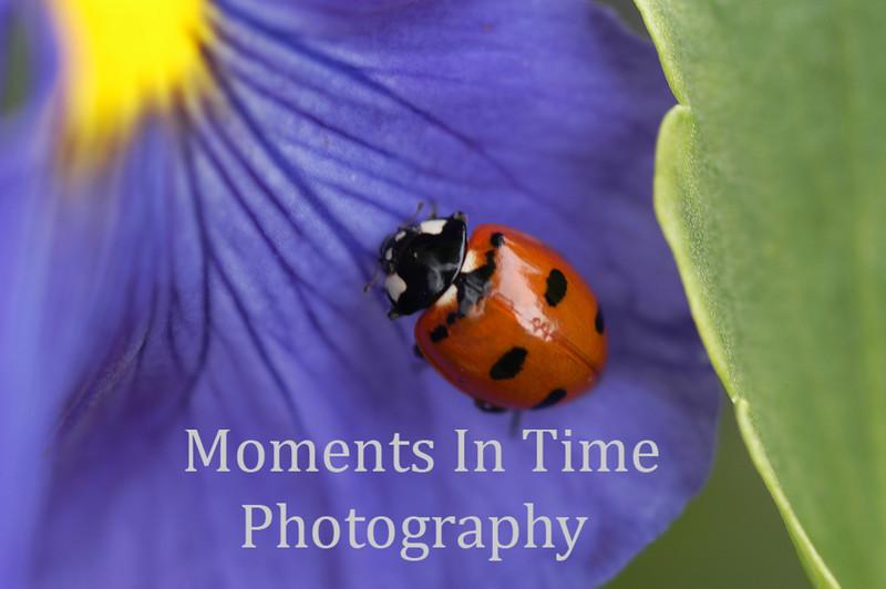 Ladybug close on purple