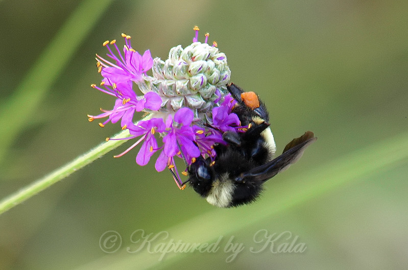Side View Of An American Bumble Bee