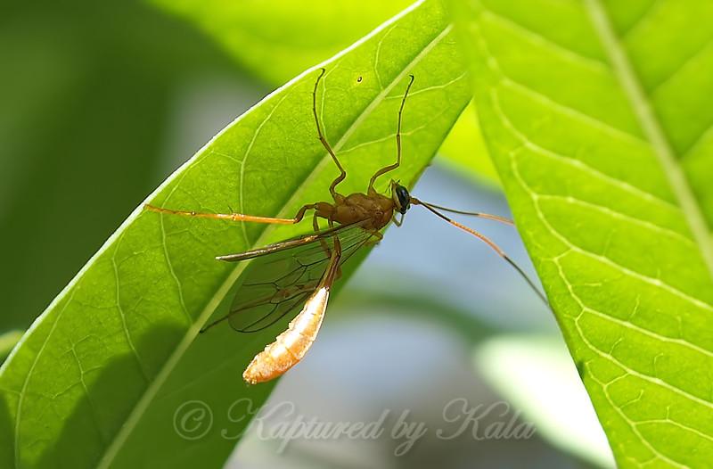 Ichneumon Wasp View 1