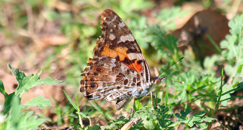 My 1st Painted Lady Butterfly