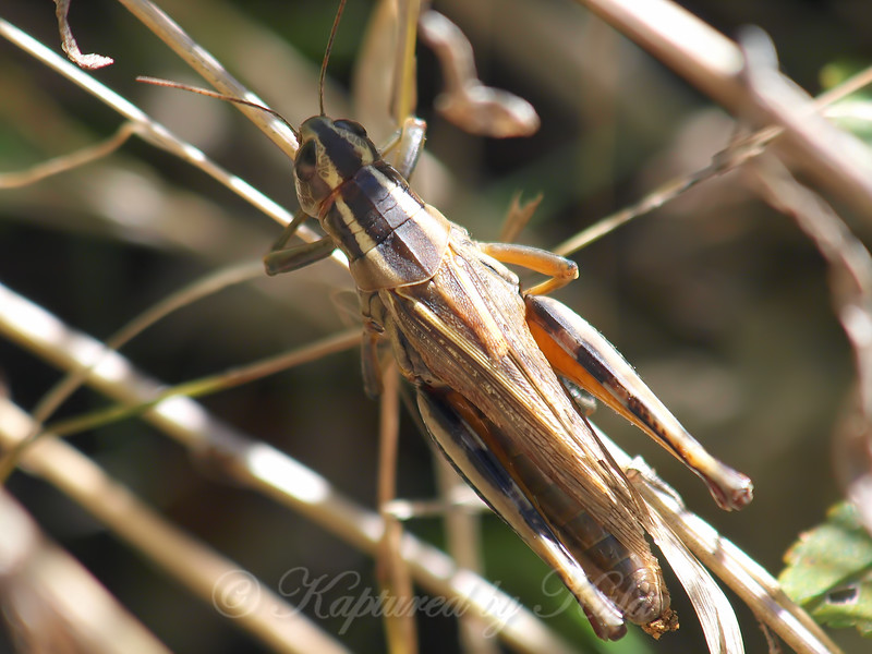 Two-Striped Grasshopper At The Heard
