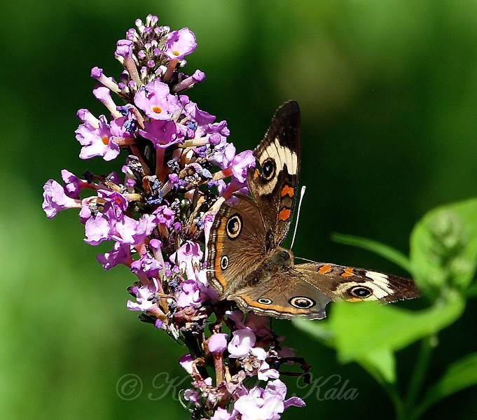 Common Buckeye View 2