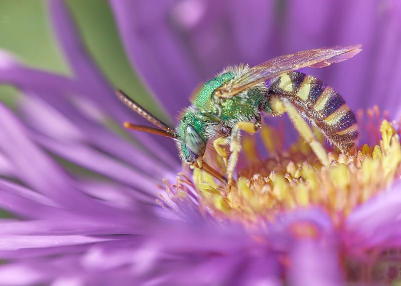 Brilliant Green Halactid bee  on Aster