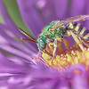 Brilliant Green Halactid bee  on Aster