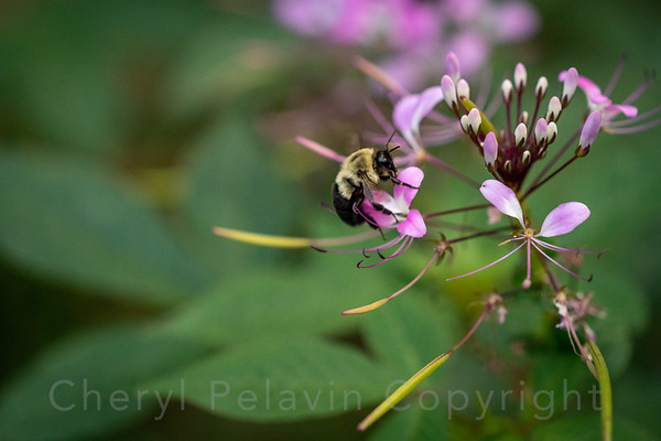 Bumble Bee and Late Spider Flower