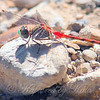 Beautiful Blue-faced Meadowhawk