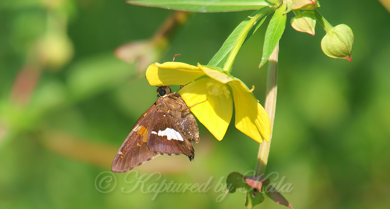Silver-spotted Skipper On A Water Primrose