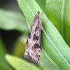 My Second Lucerne Moth