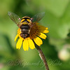Transverse Flower Fly View 1
