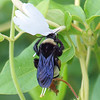 American Bumblebee On Wild Honeysuckle