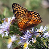 Variegated Fritillary At The Heard