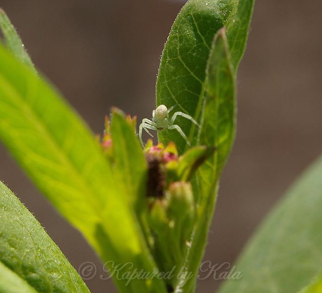 Tiny Little Crab Spider