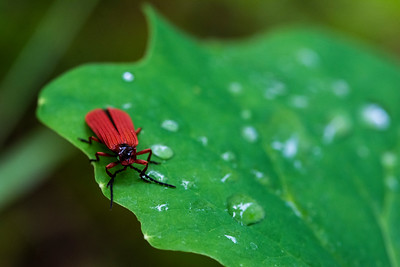 A net winged beetle sits on a dew-drop-strewn leaf in the lowland forests of Mount Rainier National Park in Washington.  Sp. Punicealis hamata