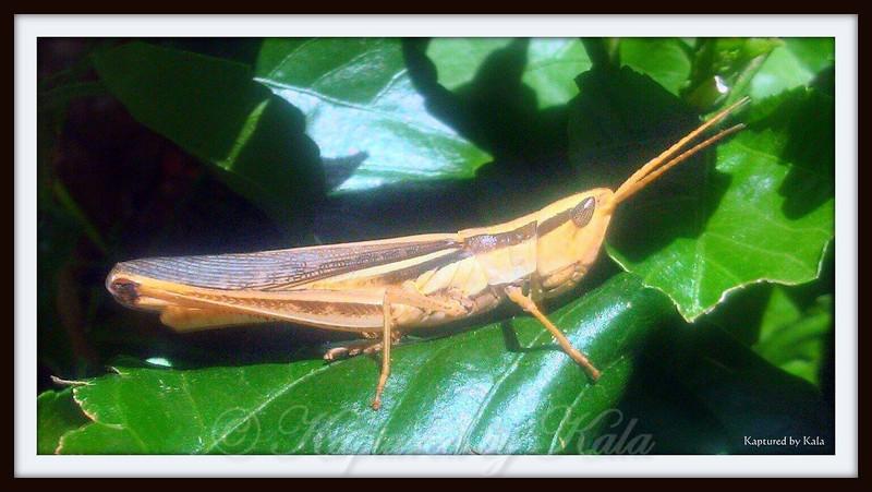 Grasshopper on Hibiscus Leaf