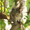 Portrait of an Eastern Gray Squirrel siting on a secluded branch contemplate life.
