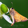 Male Sachem Skipper