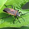 My First Largus Bug