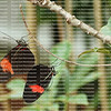 Two mating butterflies hanging upside down