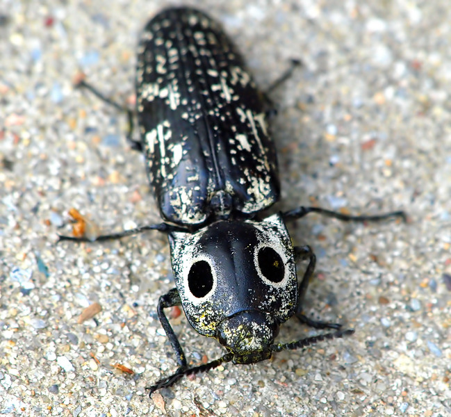 Eastern-Eyed Click Beetle View 1