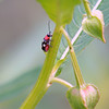 Eight-spotted Flea Beetle