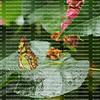 A beautiful Malachite butterfly on a wet leaf