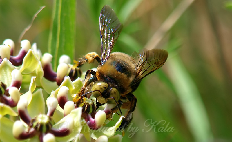 Carpenter Bee Face Shot