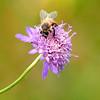 Honey Bee On Sweet Scabious