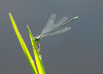 Damselfly resting on a leaf on the shoreline of The Grand River, Eaton Rapids, Michigan.
