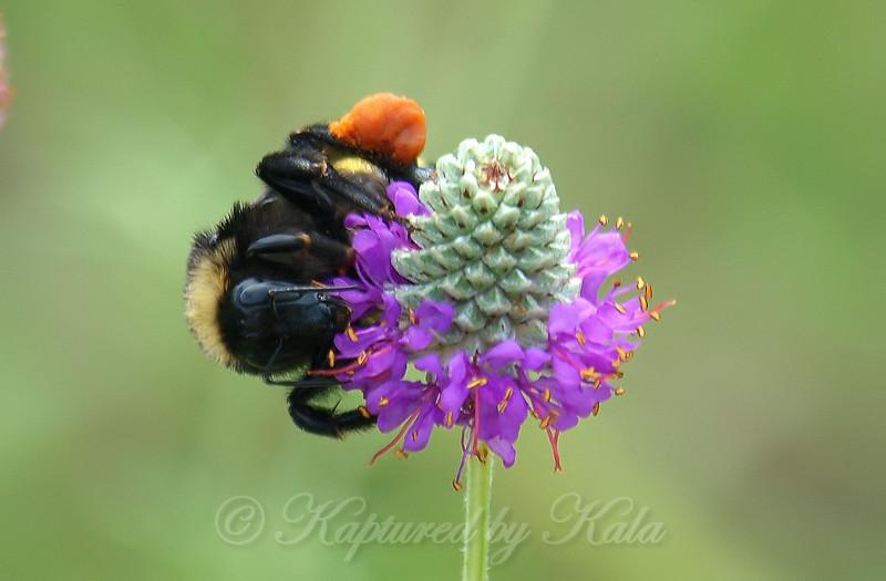 American Bumblebee On Purple Prairie Clover View 1