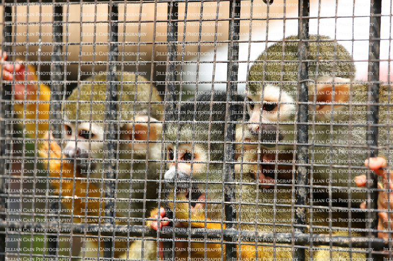 Three cute squirrel monkeys looking out of their cage