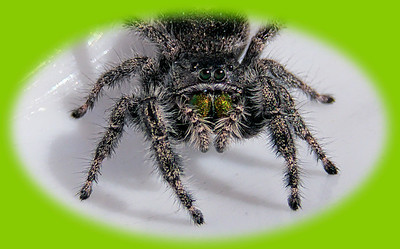Here's Looking at You Kid (Jumping Spider)