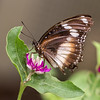Variable Eggfly_037