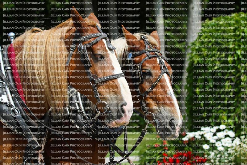 Team of two horses on Mackinac Island, Michigan