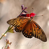 Gulf Fritillary On Raspberry Delight View 1
