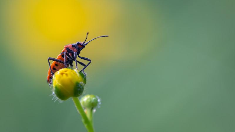 Cinnamon bug / Corizus hyoscyami / Kaneelwants