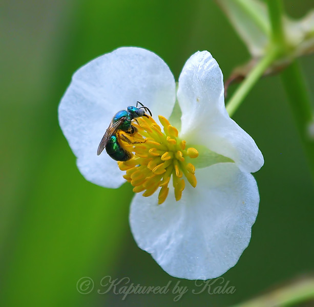 Green Sweat Bee View 1