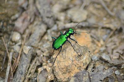 Cicindela sexguttata - Six-spotted Tiger Beetle