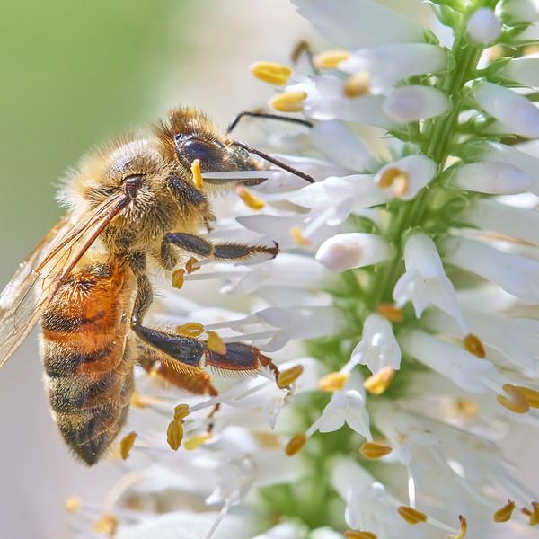 Honeybee on Culver's Root