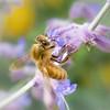 Honey bees love Russian Sage