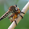 Giant Robber Fly Munching On A Wasp