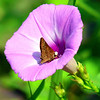 Clouded Skipper In A Wild Morning Glory