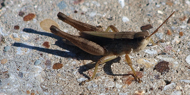 Short-winged Green Grasshopper
