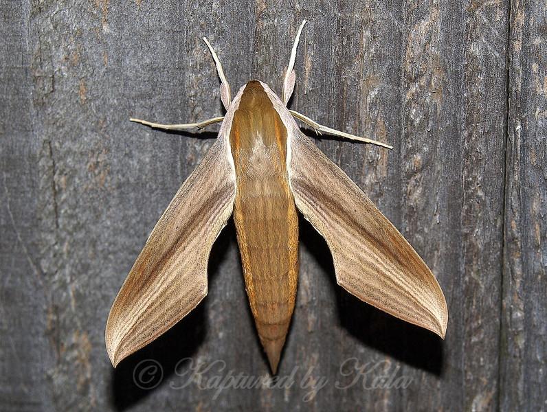 Tersa Sphinx Moth Being Released