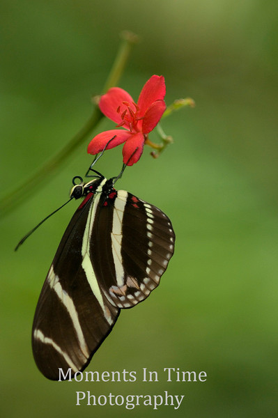 Zebra longwing V