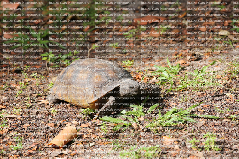 Gopher tortoise a dry land turtle sits and warms up in the Florida sunlight.