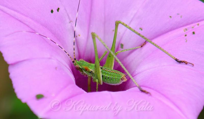 Close Up Of A Bush Katydid Nymph