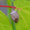 Brown Stink Bug